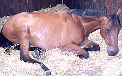 Horse relaxing during Box Rest