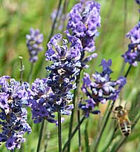 lavender is used as a calmer for horses